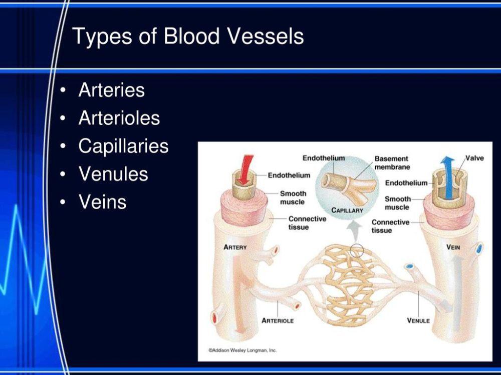 medium resolution of 3 types of blood vessels arteries arterioles capillaries venules veins