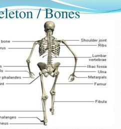 5 skeleton bones [ 1024 x 768 Pixel ]