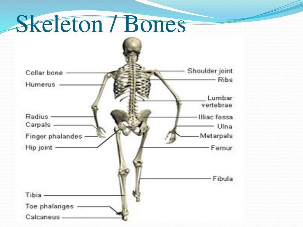 hight resolution of 5 skeleton bones