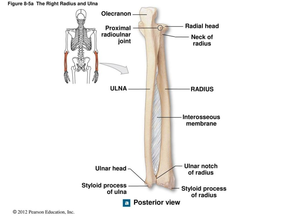 medium resolution of figure 8 5a the right radius and ulna