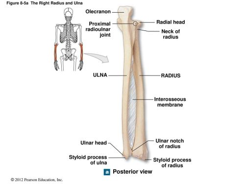 small resolution of figure 8 5a the right radius and ulna