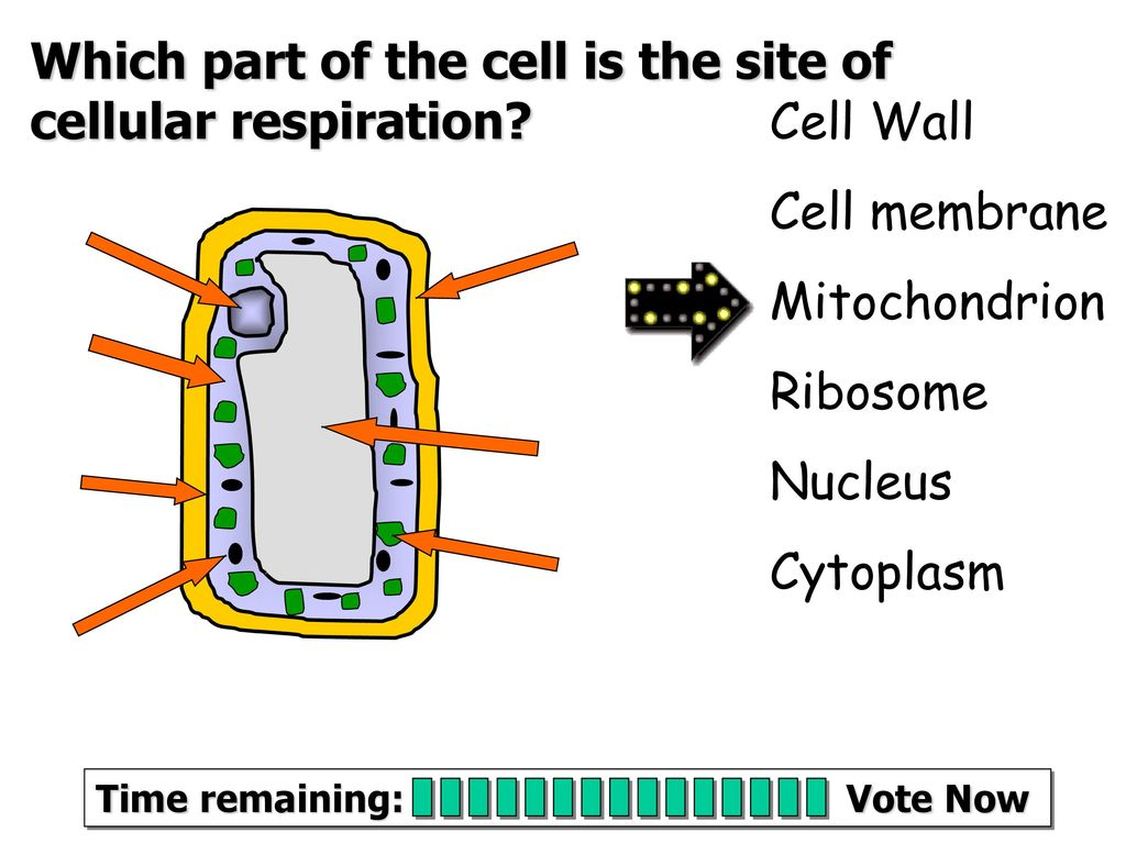 hight resolution of which part of the cell is the site of cellular respiration
