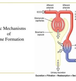 3 basic mechanisms of urine formation [ 1024 x 768 Pixel ]