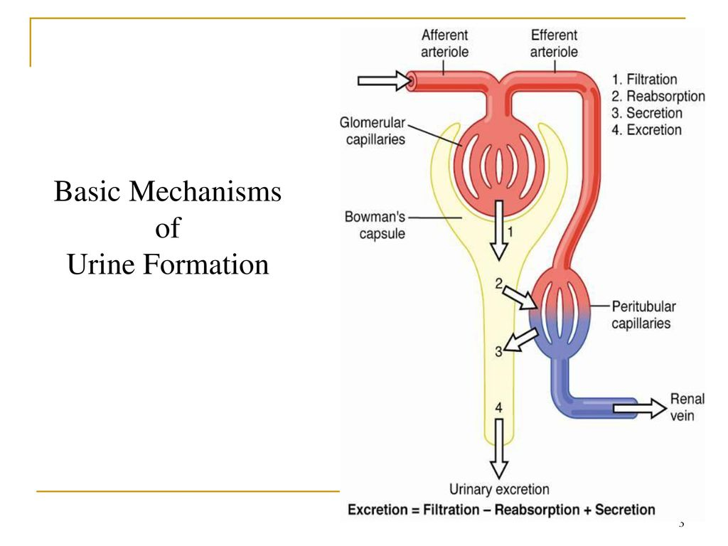 hight resolution of 3 basic mechanisms of urine formation