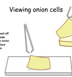 13 viewing onion cells 2 [ 1024 x 768 Pixel ]