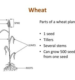 3 wheat parts of a wheat plant  [ 1024 x 768 Pixel ]