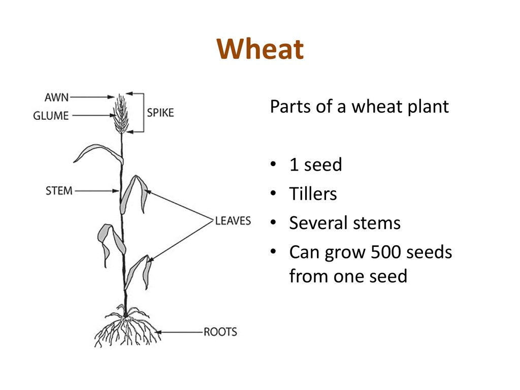 hight resolution of 3 wheat parts of a wheat plant
