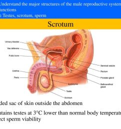 3 scrotum divided sac of skin outside the abdomen [ 1024 x 768 Pixel ]
