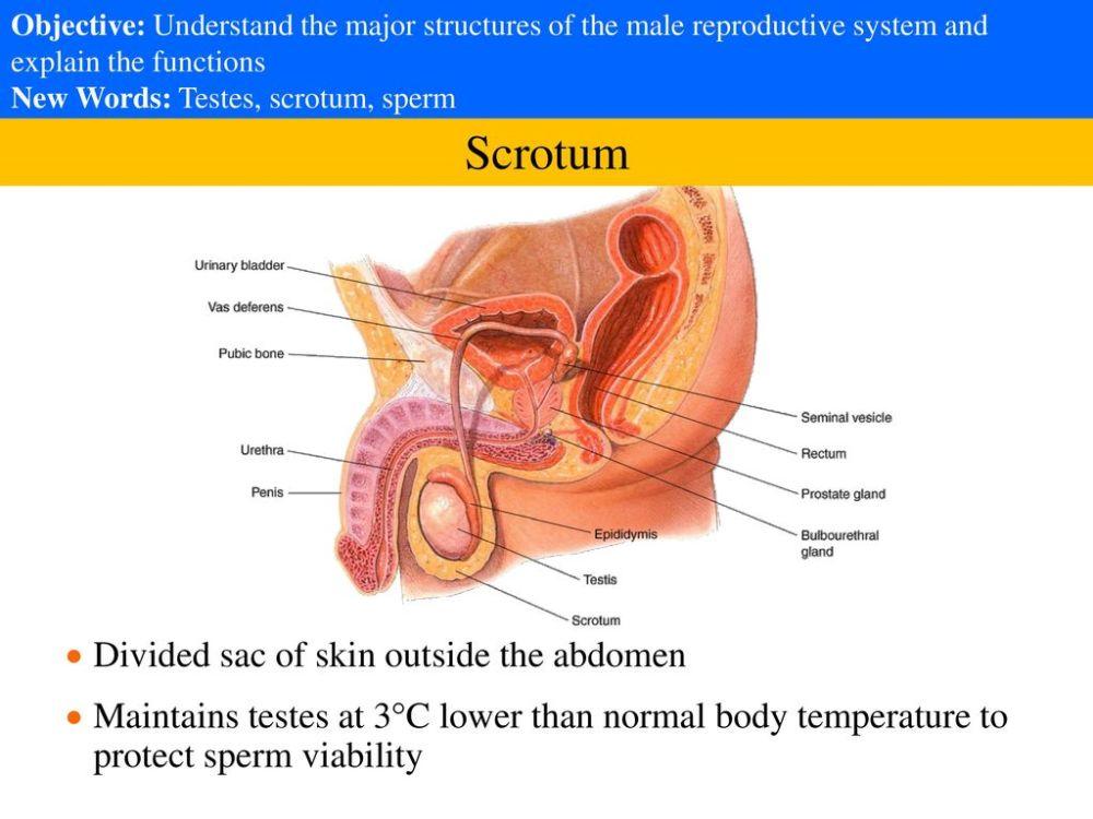 medium resolution of 3 scrotum divided sac of skin outside the abdomen