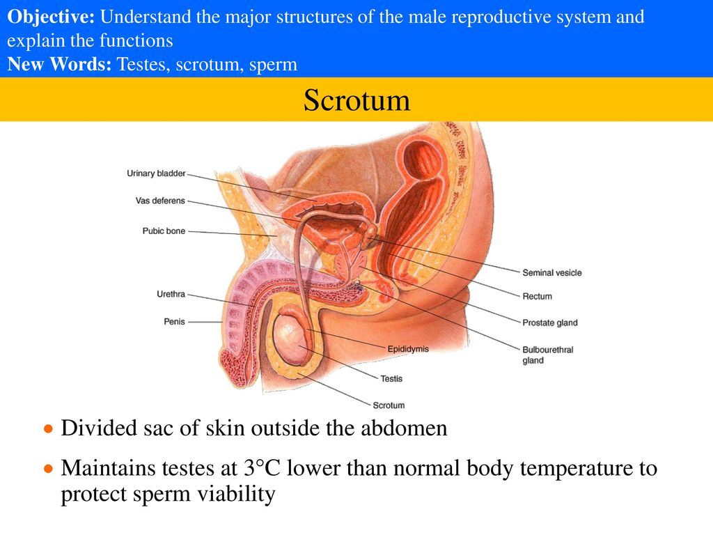 hight resolution of 3 scrotum divided sac of skin outside the abdomen