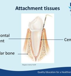 attachment tissues periodontal ligament cementum alveolar bone [ 1024 x 768 Pixel ]