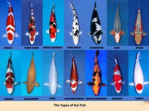 Ciri Ikan Koi Taisho