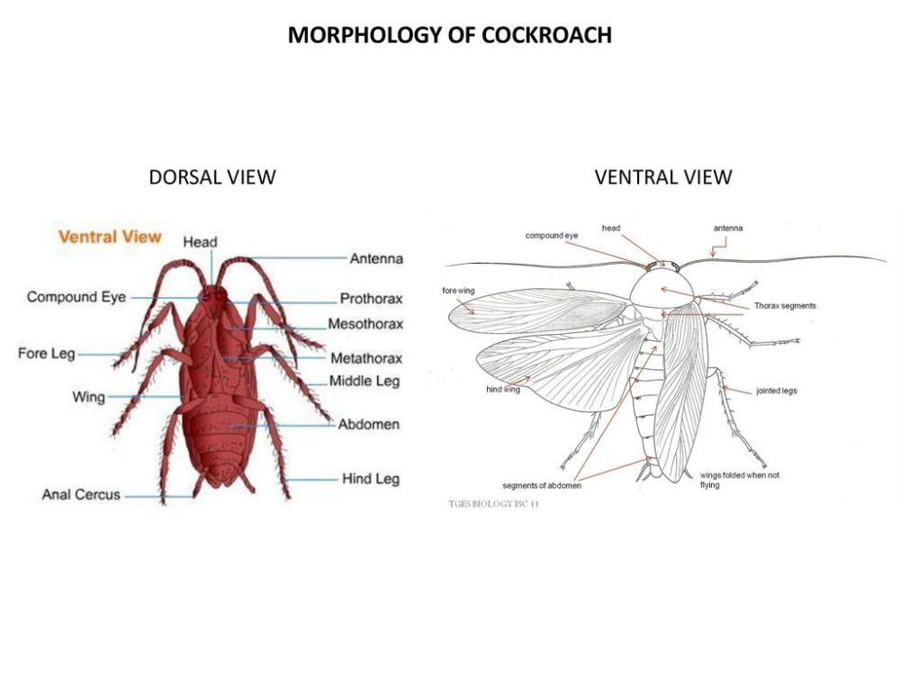 medium resolution of morphology of cockroach