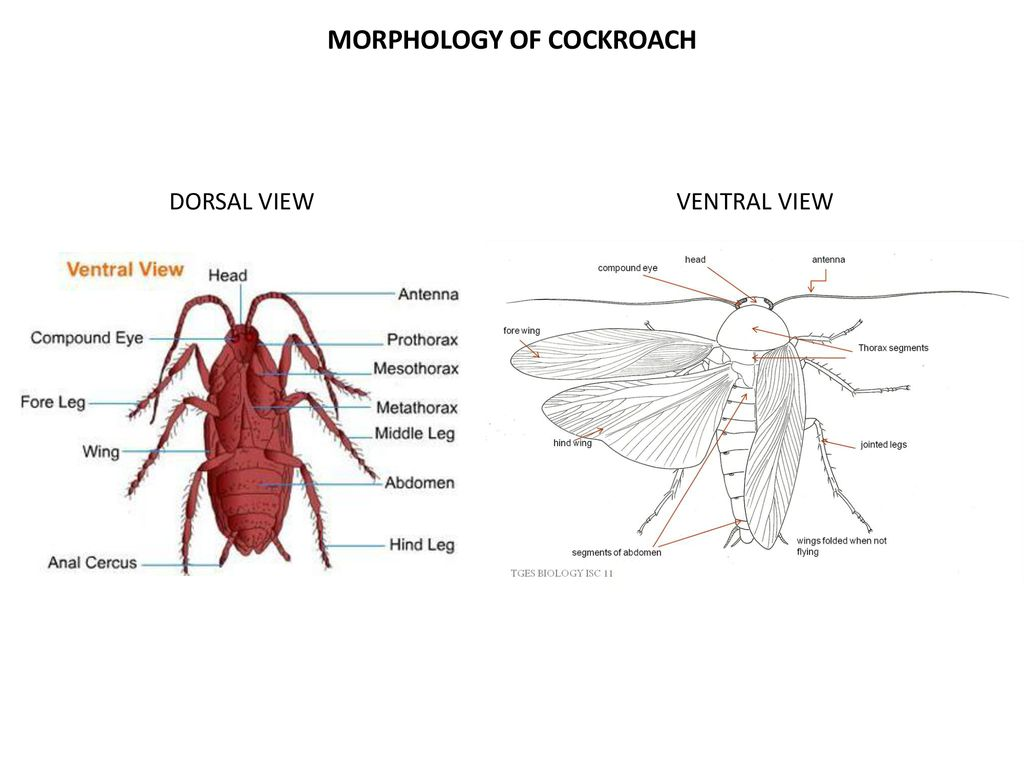 hight resolution of morphology of cockroach