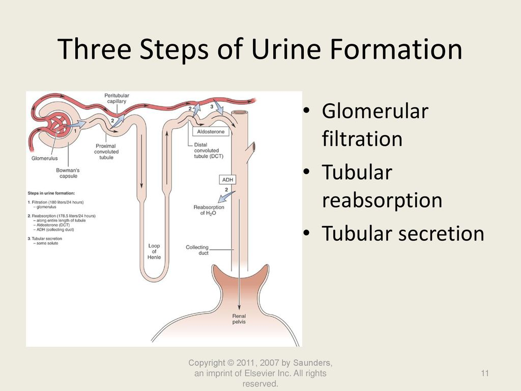 hight resolution of three steps of urine formation