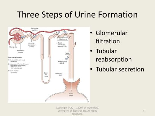 small resolution of three steps of urine formation