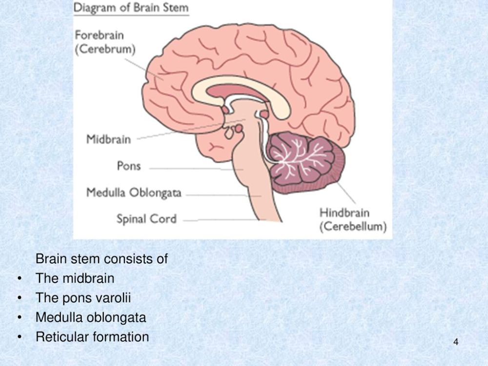 medium resolution of 4 brain