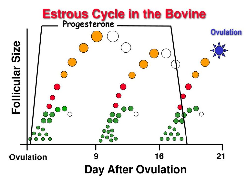 medium resolution of estrous cycle in the bovine