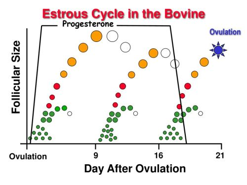 small resolution of estrous cycle in the bovine