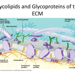 2 glycolipids and glycoproteins of the ecm [ 1024 x 768 Pixel ]