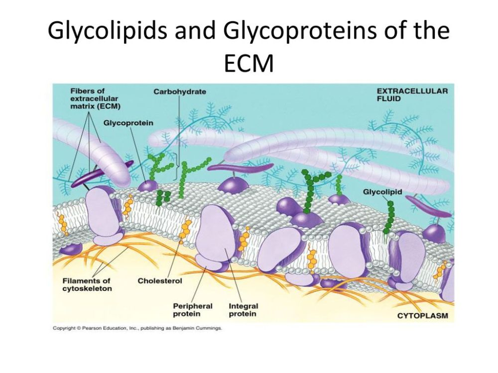 medium resolution of 2 glycolipids and glycoproteins of the ecm