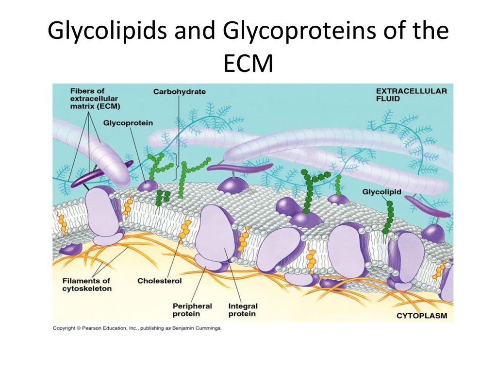 hight resolution of 2 glycolipids and glycoproteins of the ecm