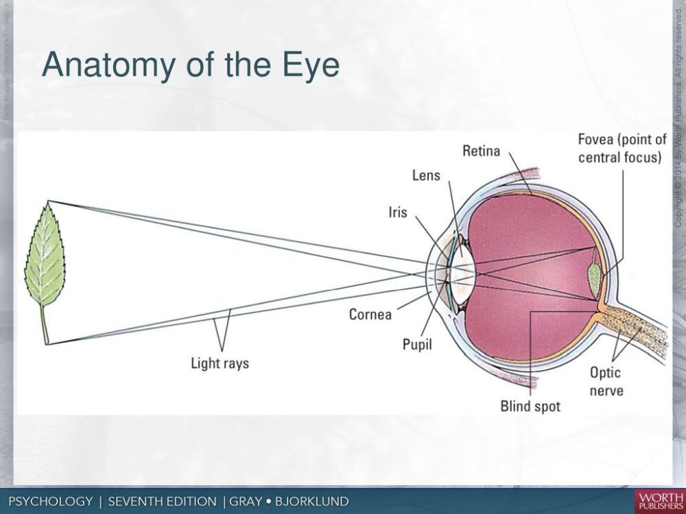 medium resolution of anatomy of the eye 4 photoreceptors rods and cones