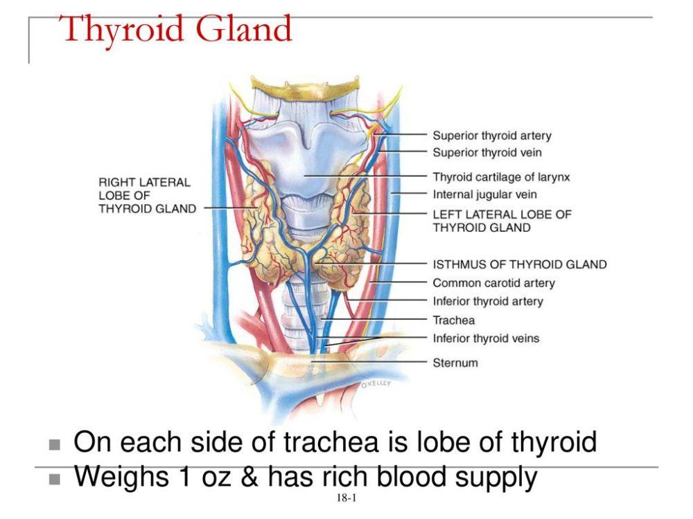 medium resolution of thyroid gland on each side of trachea is lobe of thyroid