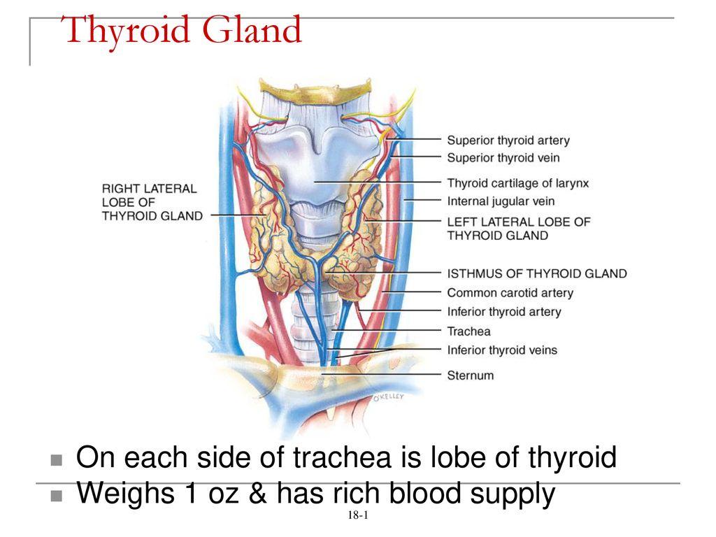 hight resolution of thyroid gland on each side of trachea is lobe of thyroid