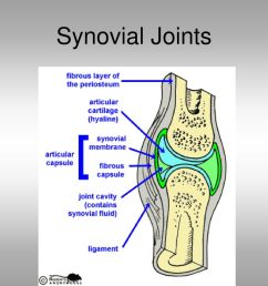 11 synovial joints [ 1024 x 768 Pixel ]
