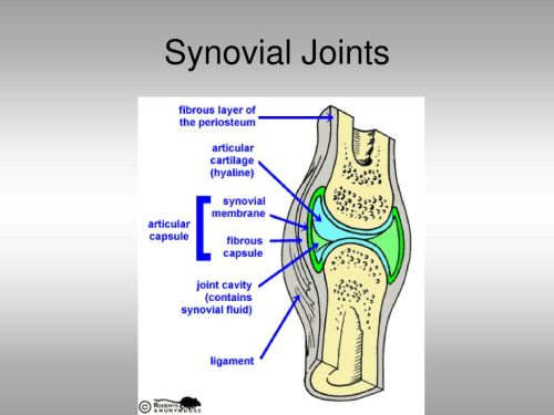 small resolution of 11 synovial joints