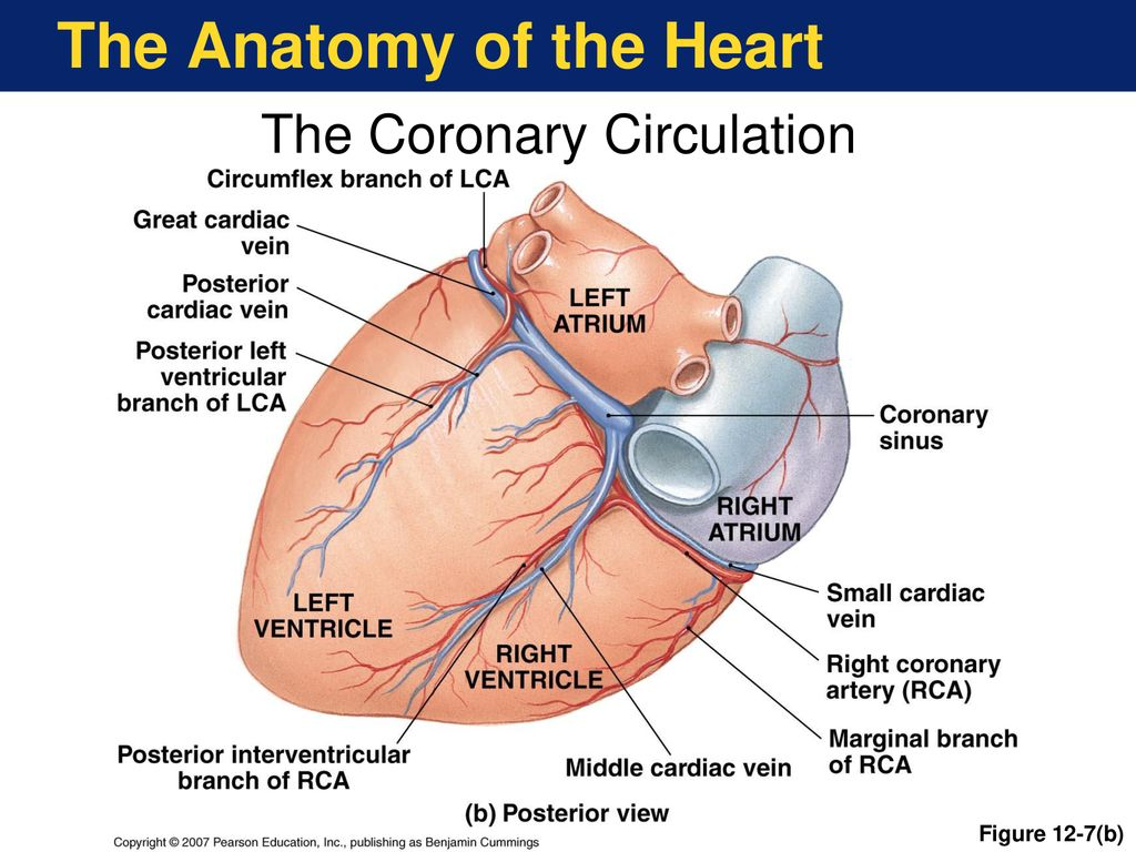 hight resolution of the anatomy of the heart