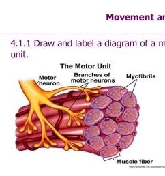4 1 1 draw and label a diagram of a motor unit  [ 1024 x 768 Pixel ]