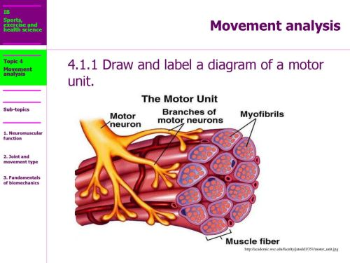 small resolution of 4 1 1 draw and label a diagram of a motor unit