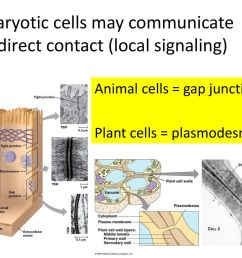 eukaryotic cells may communicate by direct contact local signaling  [ 1024 x 768 Pixel ]