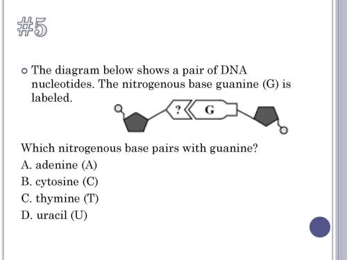 small resolution of  5 the diagram below shows a pair of dna nucleotides the nitrogenous base guanine