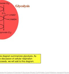 2 adp summary glycolysis  [ 1024 x 768 Pixel ]