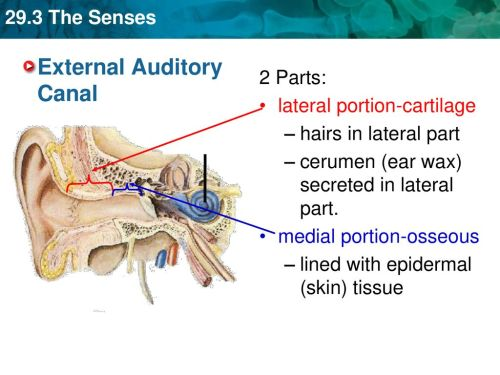 small resolution of external auditory canal