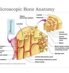 microscopic bone anatomy [ 1024 x 768 Pixel ]