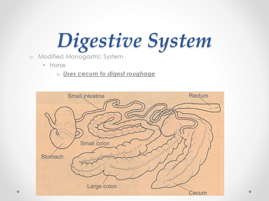 hight resolution of 15 digestive system modified monogastric system horse