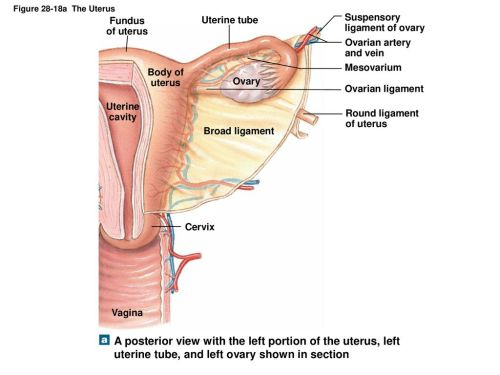 small resolution of figure 28 18a the uterus fundus of uterus uterine tube suspensory ligament of