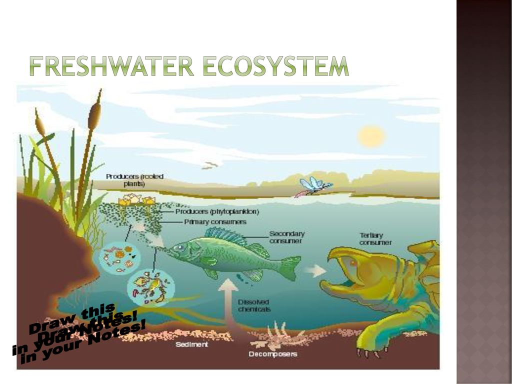 freshwater biomes food chain diagram plant cell and animal ecosystems ppt download