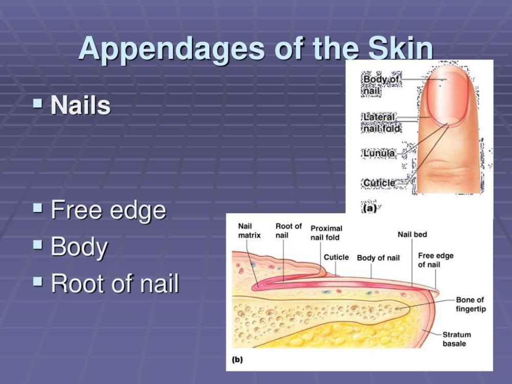 medium resolution of 22 appendages of the skin nails free edge body root of nail