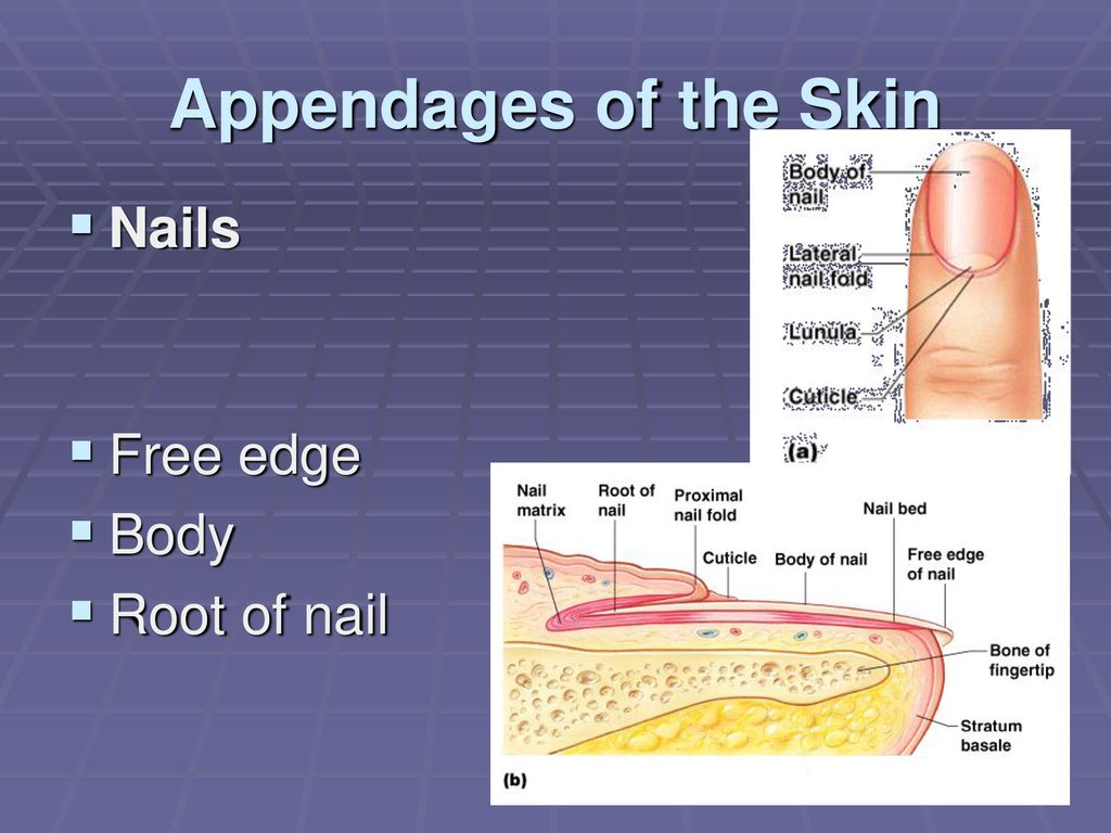 hight resolution of 22 appendages of the skin nails free edge body root of nail
