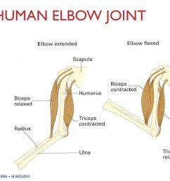 elbow diagram ib wiring diagram centremovement ahl topic 11 2 ib biology miss werba ppt download12 [ 1024 x 768 Pixel ]