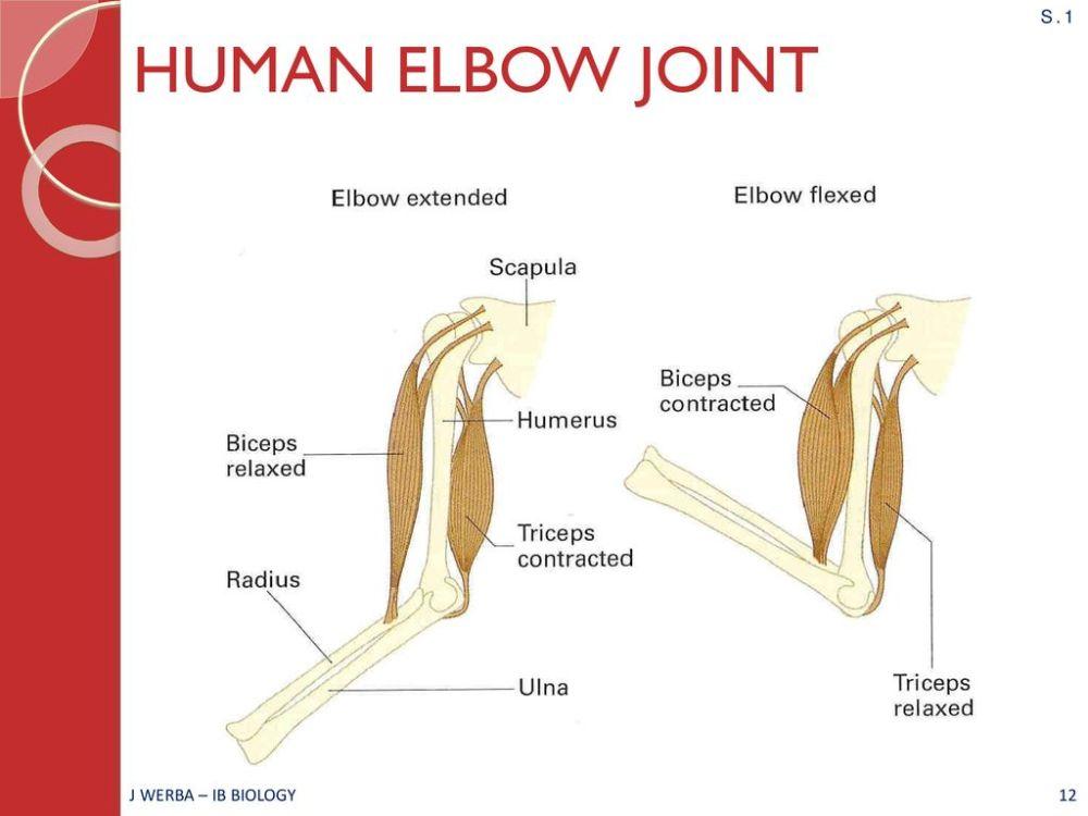 medium resolution of elbow diagram ib wiring diagram centremovement ahl topic 11 2 ib biology miss werba ppt download12