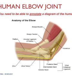 elbow joint diagram ib wiring diagram datasourcemovement ahl topic 11 2 ib biology miss werba ppt [ 1024 x 768 Pixel ]