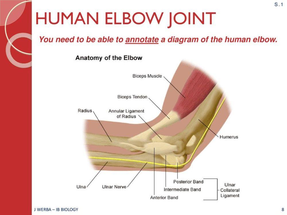 medium resolution of elbow joint diagram ib wiring diagram datasourcemovement ahl topic 11 2 ib biology miss werba ppt