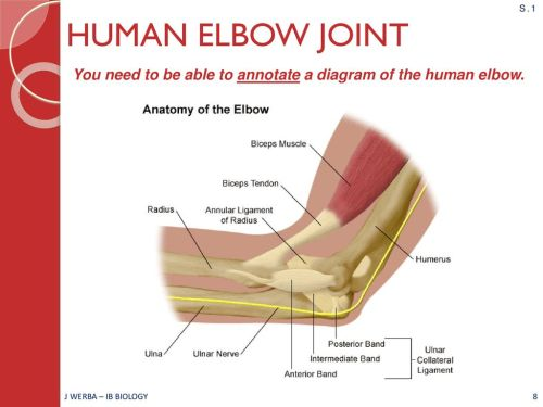 small resolution of elbow joint diagram ib wiring diagram datasourcemovement ahl topic 11 2 ib biology miss werba ppt
