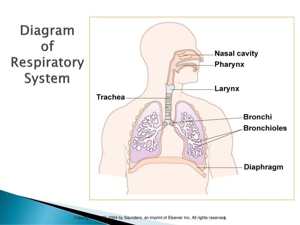 medium resolution of diagram of respiratory system